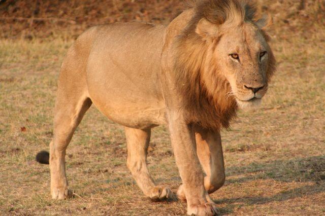 Löwe im Anmarsch
