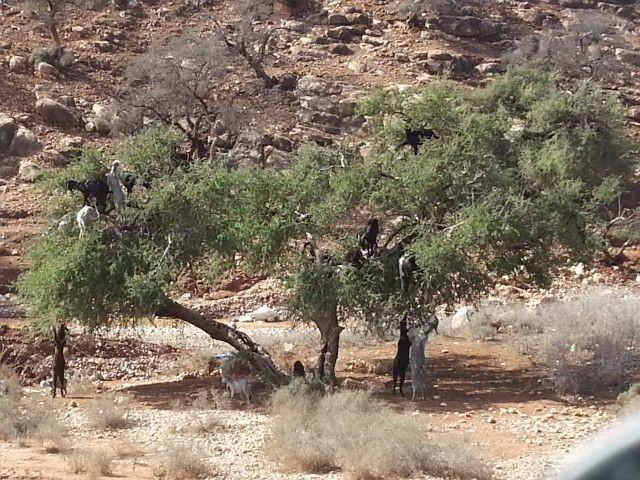 Ziegen in Arganienbaum