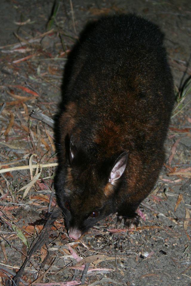 tasmanischer Teufel, ist er's oder ist er's nicht