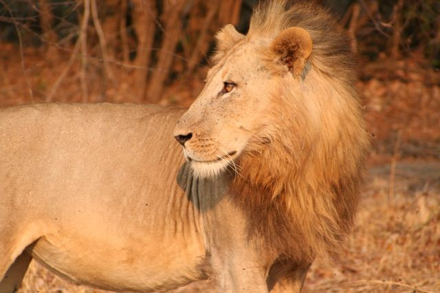 Löwe im Profil