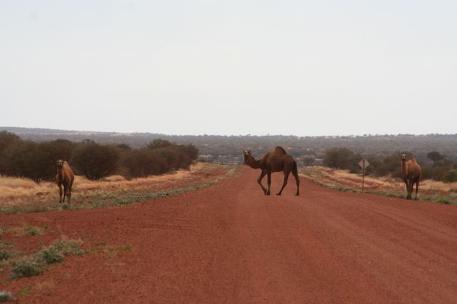 Camelcrossing