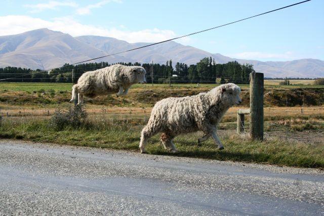 Schafe können fliegen