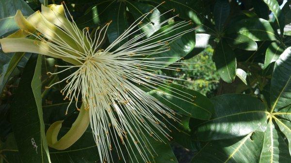 Fleur de pistachier
