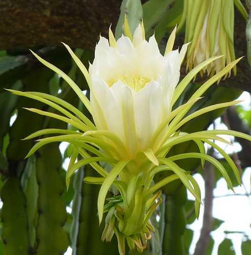 Fleur du fruit du dragon