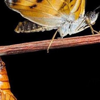 Le cocon et le papillon