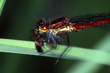 Adonislibelle frisst Fliege