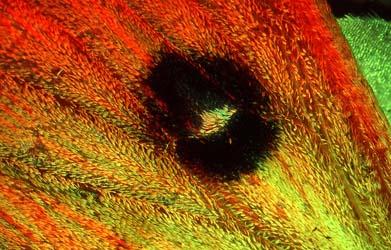 Flügelzeichnung des braunen Waldvogels