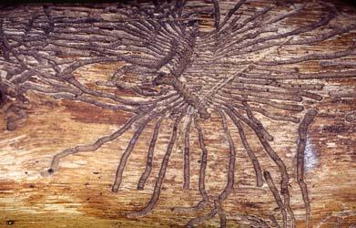 Fraßspuren des Borkenkäfers an Baumrinde