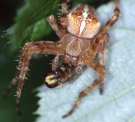 Araneus diadematus Gartenkreuzspinne