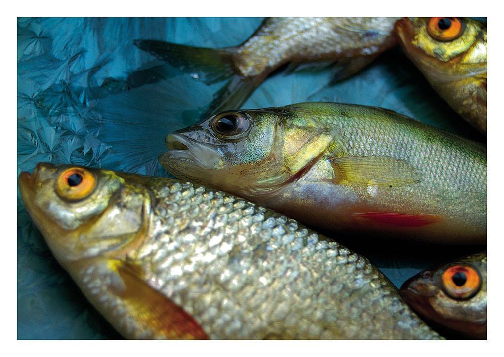 18 Uckerseefisch