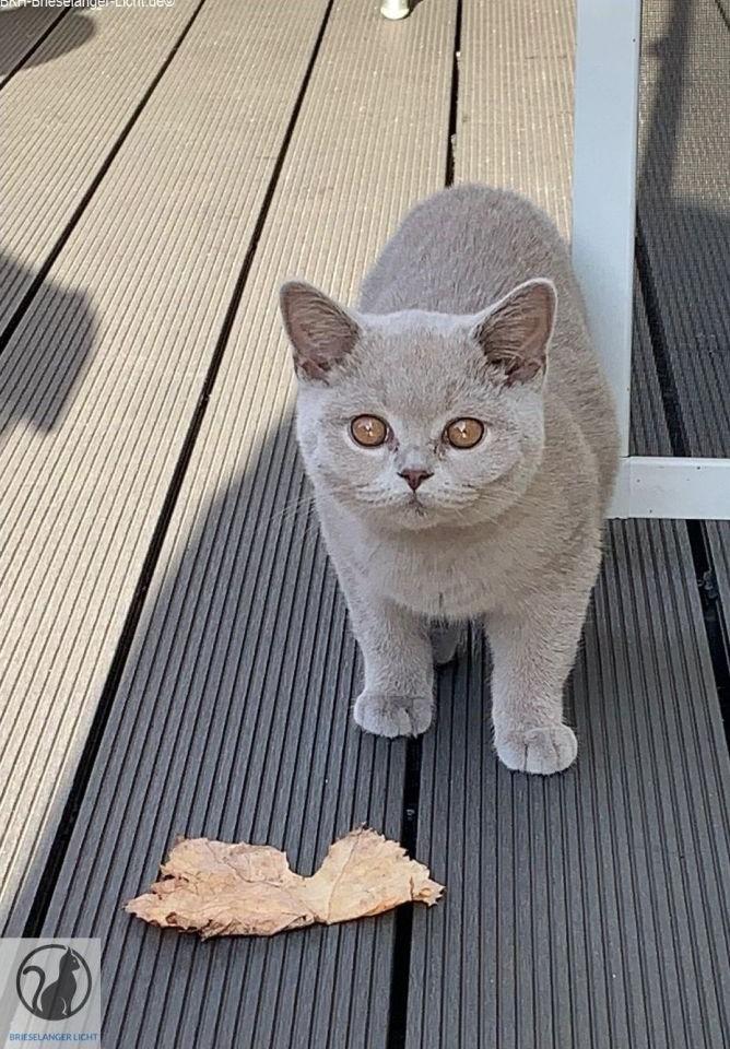 Lilac Kitten Kätzchen. 6 Monate alt. Auf der Suche nach einem Kätzchen ? Wir inserienen auf Kleinanzeigen wie Snautz