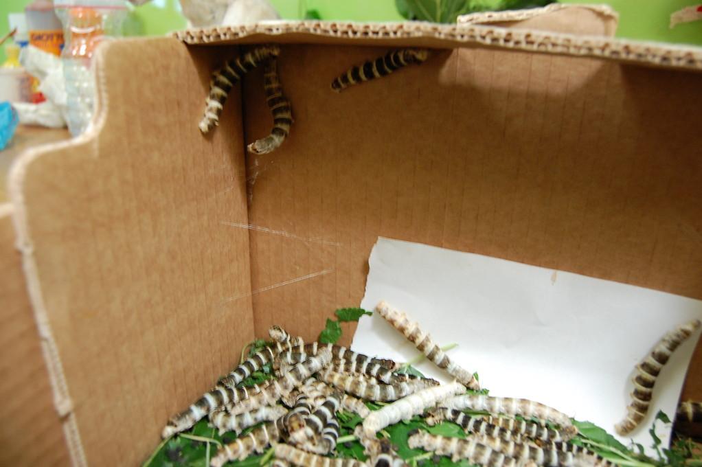 Da un giorno qualche baco ha smesso di mangiare e hanno cominciato a risalire le pareti della scatola..