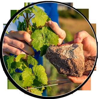 Die Rebsorten und der Boden beeinflussen den fertigen Wein