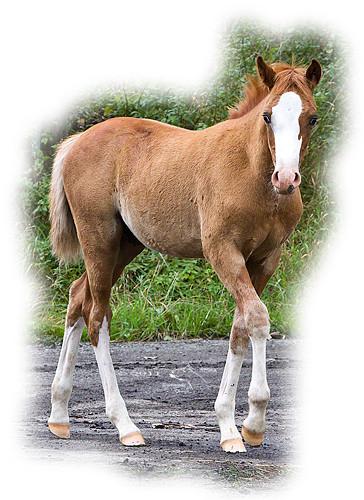 Reitpony-Hengstfohlen. © 2011 NESSA Equestrian Design.