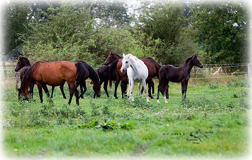 Zuchtherde. © 2011 NESSA Equestrian Design.