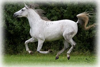 Eine unserer Shagya-Araber Stuten. © 2011 NESSA Equestrian Design.