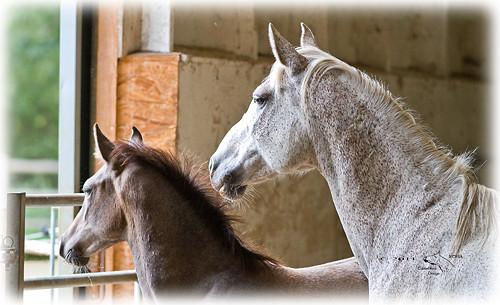 Shagya-Araber Stute mit Fohlen im Laufstall. © 2011 NESSA Equestrian Design.