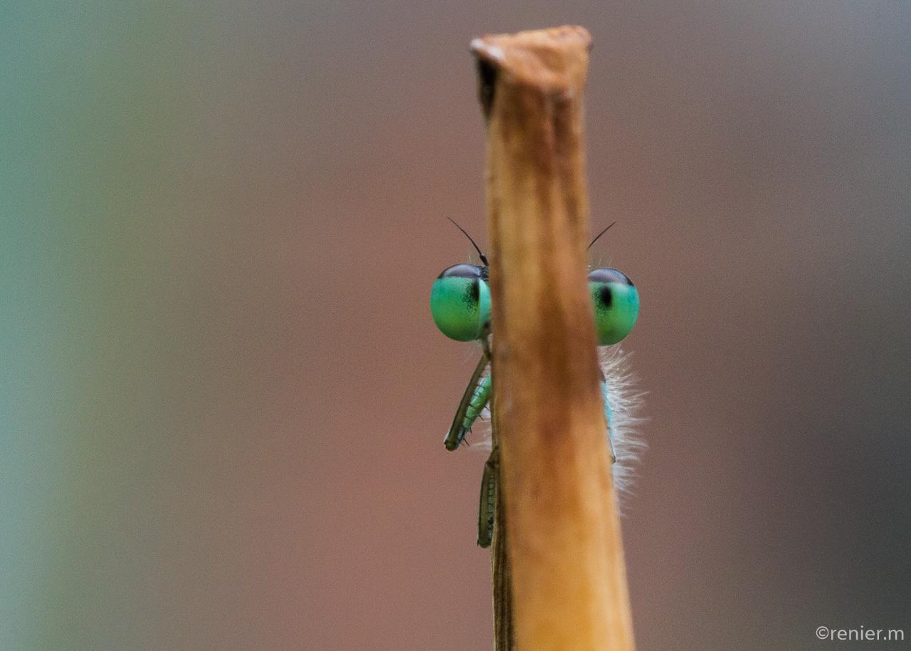 kleine Pechlibelle