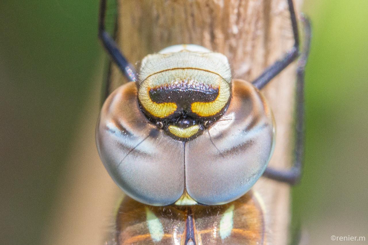 Makroaufnahme ,Libellenkopf