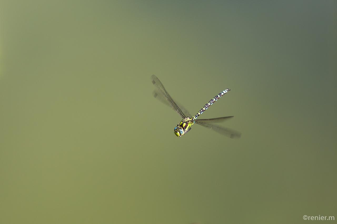 Mosaikjungfer im Flug