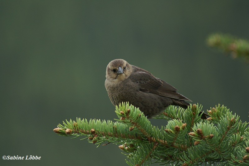 Brown Headed Cowbird (female)