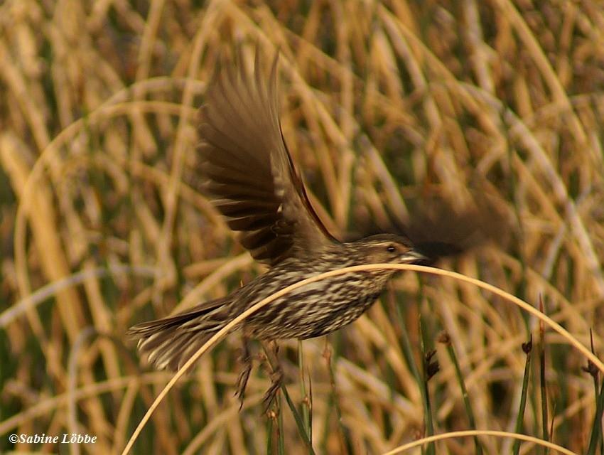 Redwinged Blackbird (female)