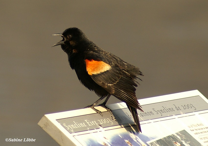 Redwinged Blackbird (male)