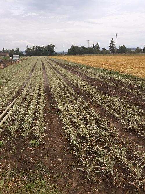 Zwiebelfeld vor der Ernte