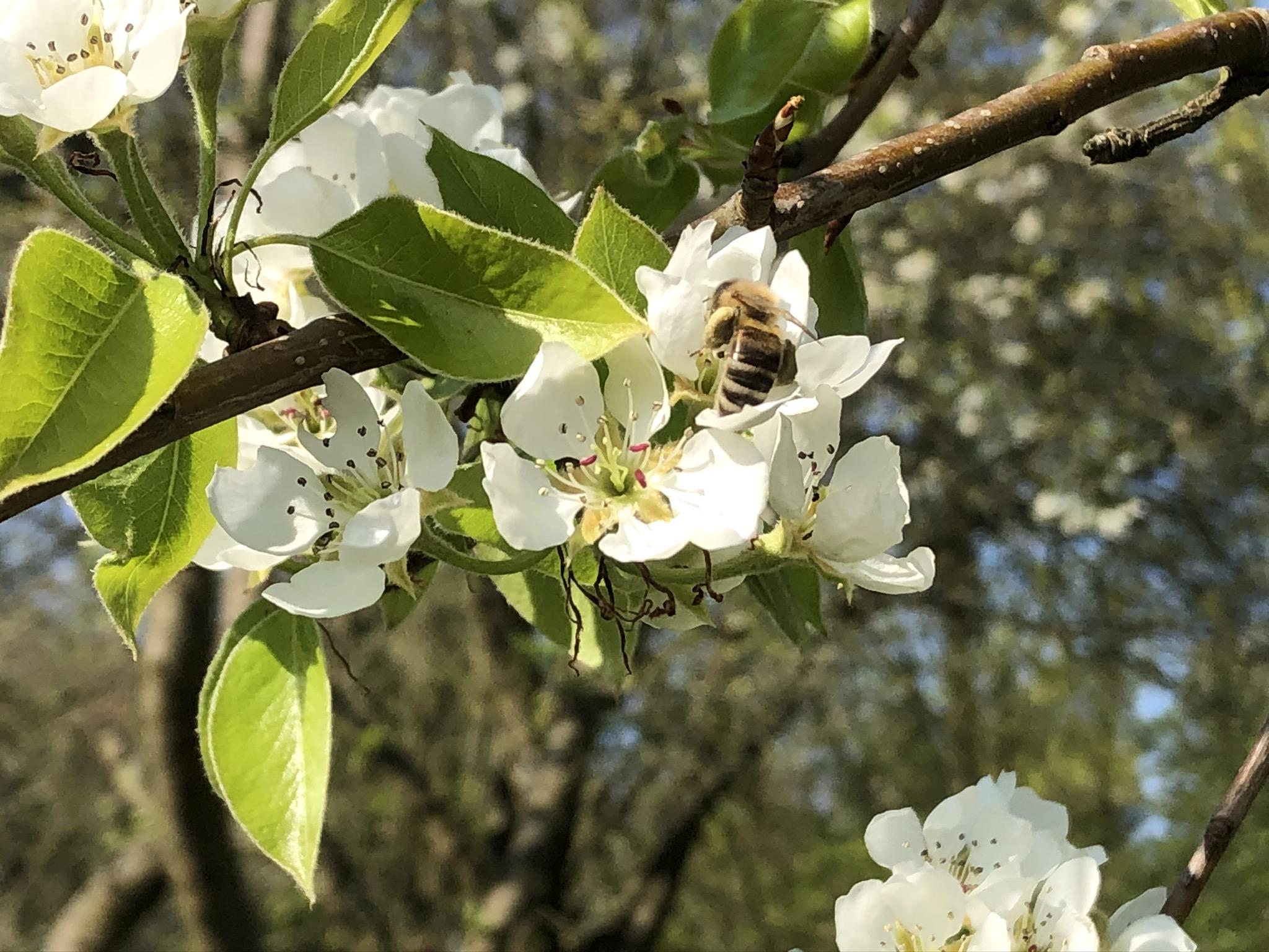 Bienchen in unseren Apfelblüten