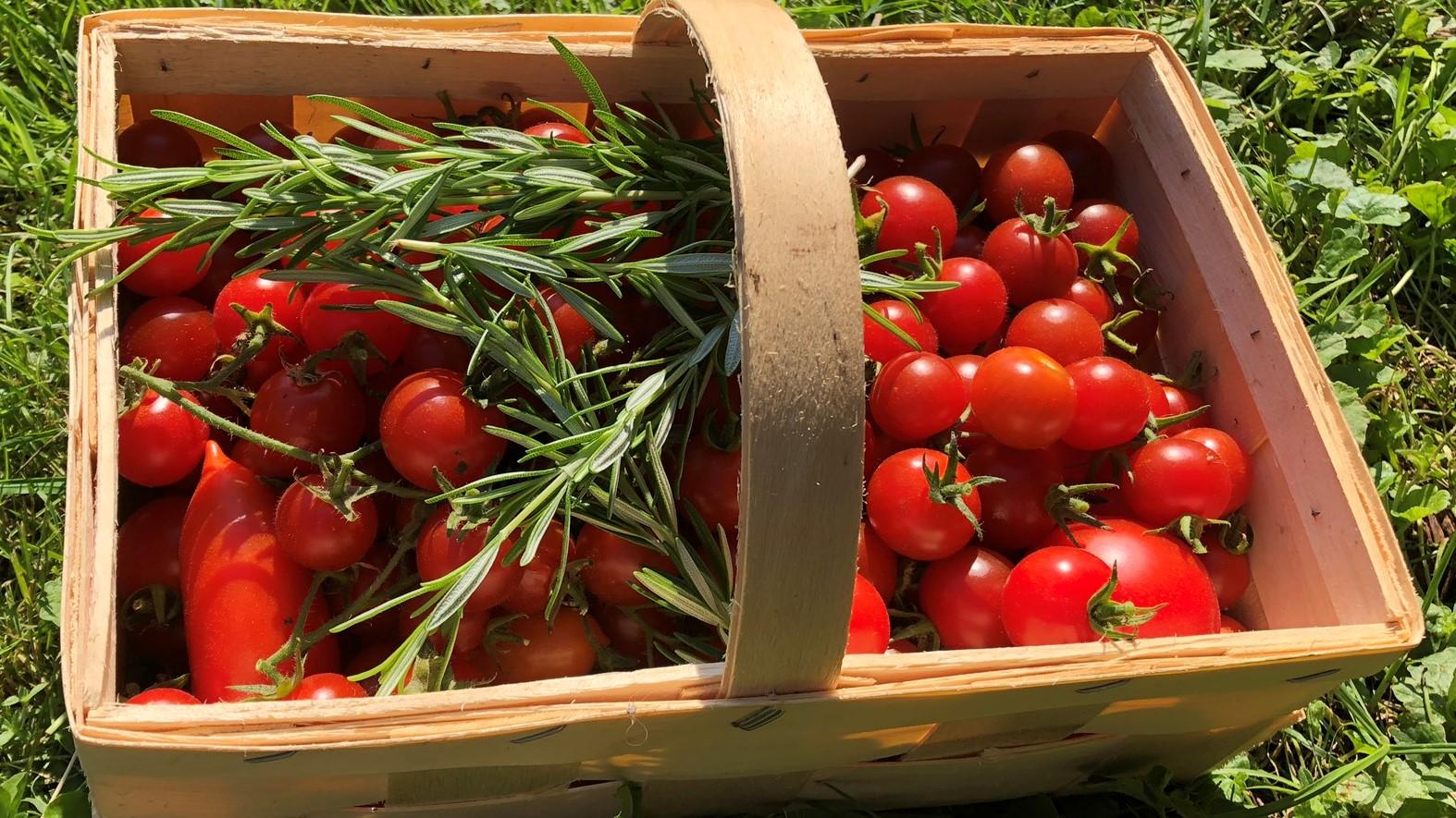 Endlich Tomatenernte