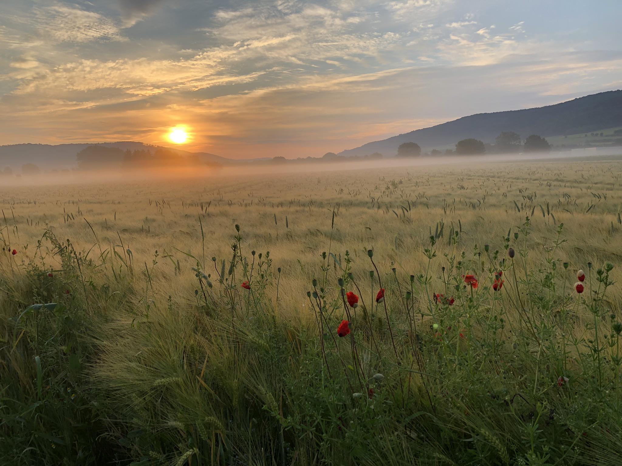 Sonnenaufgang am Weizenfeld