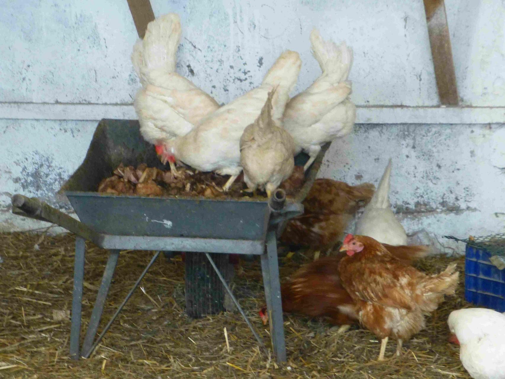 Natur pur, auch oder gerade bei den glücklichen Hühnern