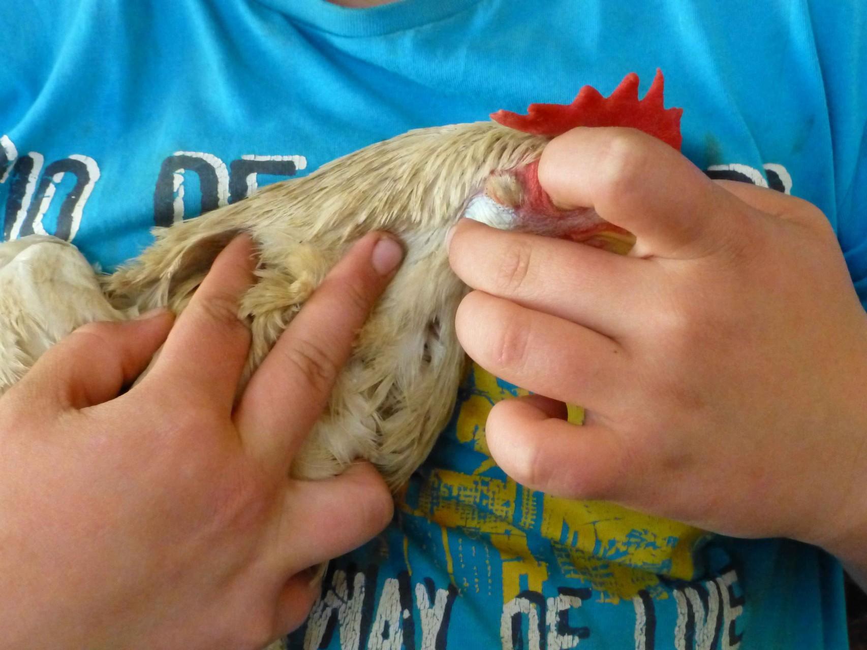 Welche Farbe haben die Eier von diesem Huhn?  Jetzt wissen wir's.  Weiß.