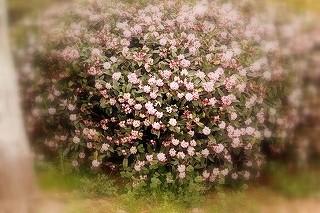 沈丁花の大きな植え込み。春の香りです。