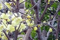 春を告げる蝋梅。小さな黄色の花ですが、とても香りのよいはなです。