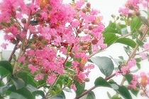 さるすべりのピンクの花。満開です。宝塚花の道にて撮影。