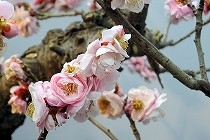 滋賀県長浜の盆梅展では、薫り高い梅の花が今を盛りと咲いていました。