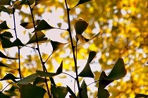黄葉が木漏れ日に輝く晩秋の風景。