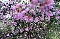 宝塚「花の道」にて。満開のエリカの花。