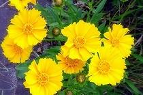 鮮やかな黄色の花。名前はわかりません。