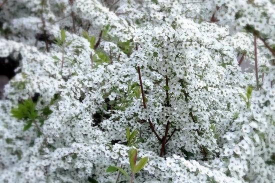 宝塚「花の道」の雪柳が満開の様子を写真に収めました。