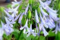 宝塚花の道に咲いたアガパンサスの花。ブルーの小さな花が集まっています。