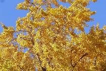 森田空美流ほし乃着付け教室にて自主練。青空に色づいた銀杏の葉がまぶしい。