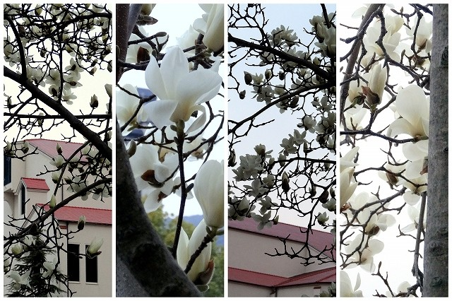 宝塚大劇場をバックに満開の白木蓮の花です。宝塚花の道にて撮影しました。