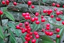 寒い日に目を引く赤い実。千両でしょうか万両でしょうか?