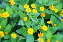 梅雨明け後の宝塚花の道。黄色い花が夏に向かって咲いているようです。