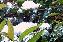 雪をかぶった雪持ちの植物。