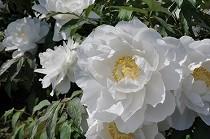 大輪の牡丹の花。真っ白な花弁と黄色のおしべのコントラストが美しいです。