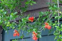 ざくろの花が咲いています。オレンジ色の花が鮮やかです。宝塚にて撮影。