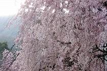 遅咲きのしだれ桜が満開です。ピンクの滝のように流れる花が美しいです。